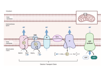 Where does the electron transport chain take place