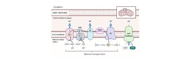 electron transport chain - Research Tweet 1