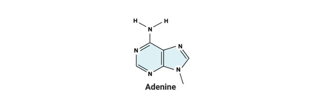 Adenine- Definition, Structure, and Functions - Research Tweet