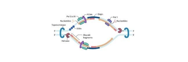 DNA Replication Steps - research tweet