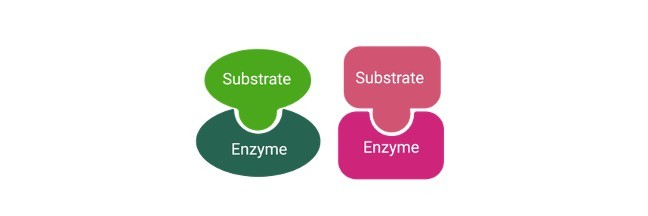 Enzymes- Definition, Functions, Types, and Examples
