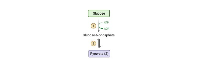 Glycolysis vs Fermentation- Definition, Function, and Steps