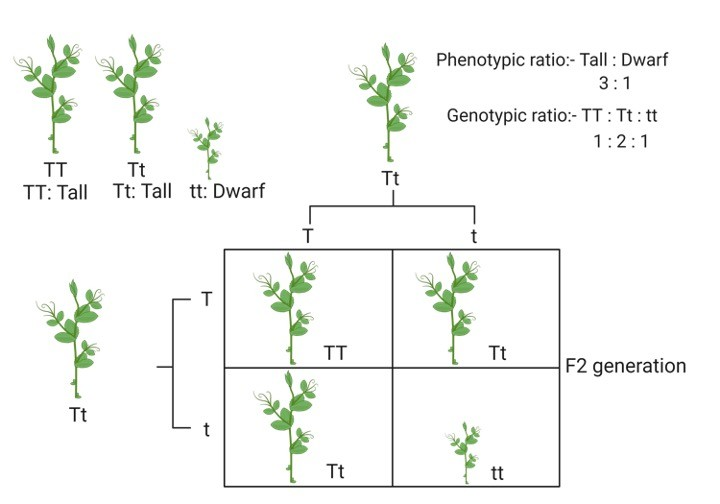Phenotypic Ratio, Phenotypic, Phenotypic Ratio of dihybrid cross, Phenotypic Ratio definition, Phenotypic Ratio calculation,
