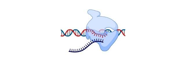 Monocistronic mRNA - research tweet