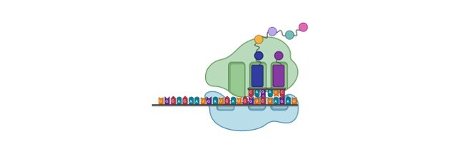 Protein Translation- Definition, Function, and Structure