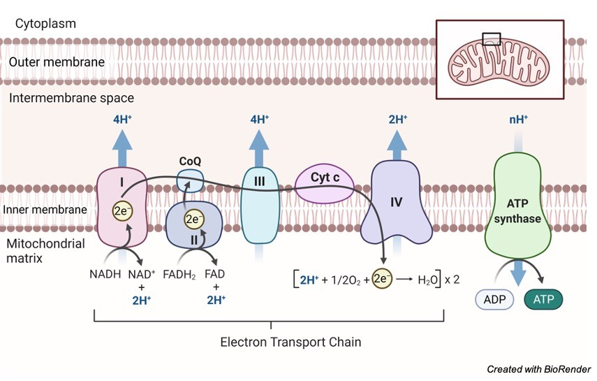 electron transport chain - Research Tweet