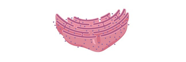 endoplasmic reticulum - Research Tweet 1