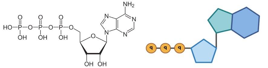 ATP - Adenosine triphosphate Structure - research tweet