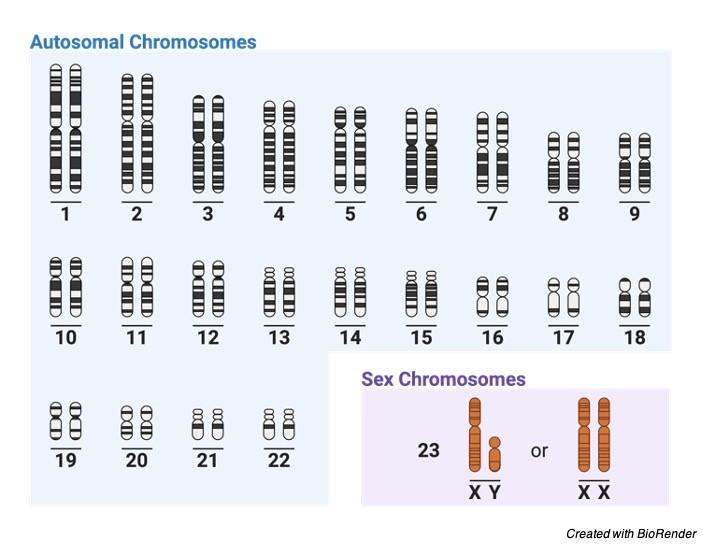 Autosomes Chromosomes - research tweet 2