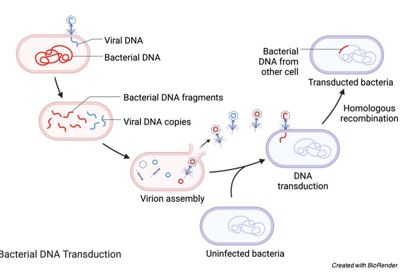 Bacterial DNA Transduction - Bacteriophage- Definition, Structure, Diagram, and Function - research tweet