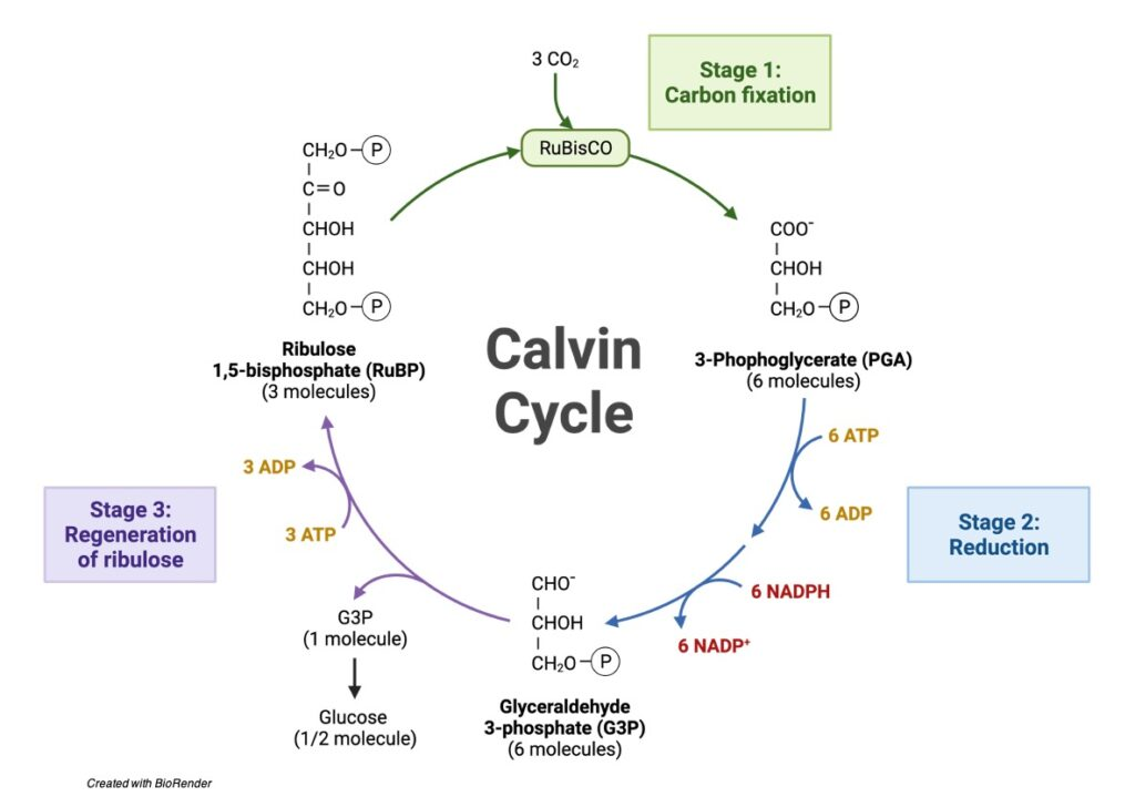 Calvin Cycle- Diagram, Definition, and Mechanism - research tweet