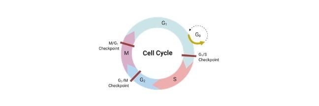 Cell Cycle, Cell Cycle Definition, Cell Cycle Description, Cell Cycle Stages, Cell Cycle Checkpoints