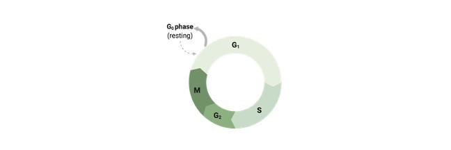 Cell Cycle- Phases, Diagram, Stage, and Checkpoints