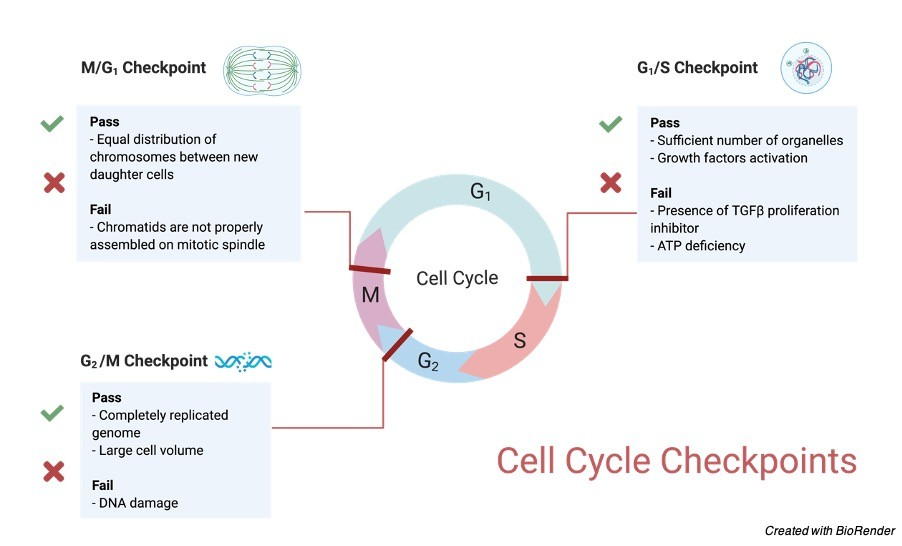 Cell Proliferation - Research Tweet 2