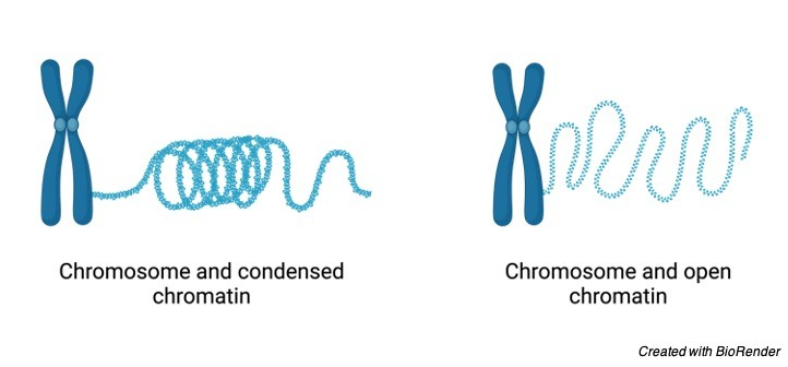 Chromatin- Definition, Function, and Condensation - research tweet