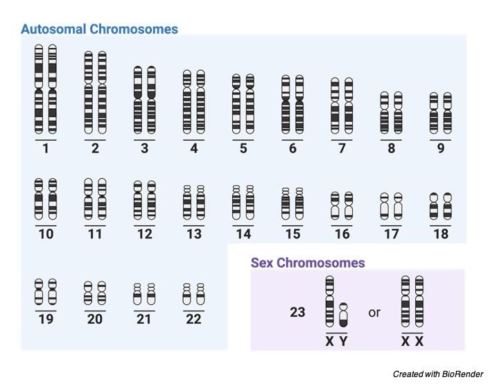 Homologous Chromosome, what are Homologous Chromosome, Homologous pair of Chromosome, Homologous Chromosome definition, Homologous Chromosome vs sister chromatids