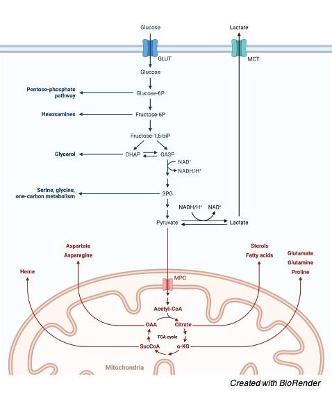 Citric acid cycle - research tweet 1