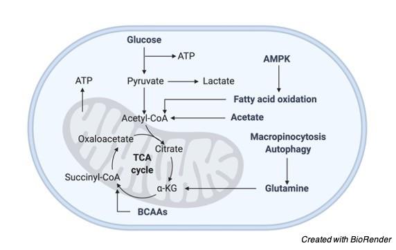 Citric acid cycle - research tweet 3