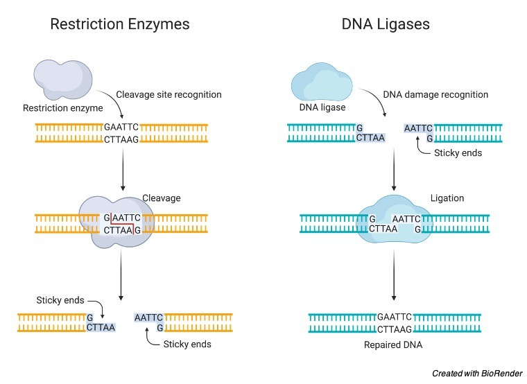 DNA Ligase- Definition, Type, Mechanism and Significance - Research Tweet 1