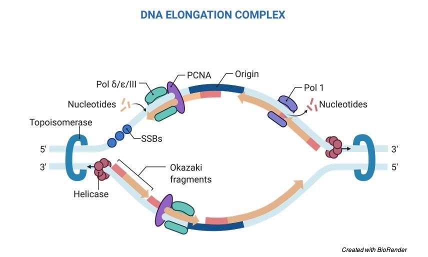 DNA Replication Steps DNA Replication - research tweet 1