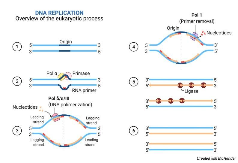 DNA Replication Steps DNA Replication - research tweet 2