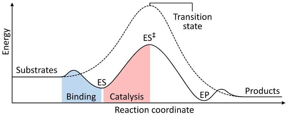 Enzymes- Definition, Functions, Types, and Examples 2