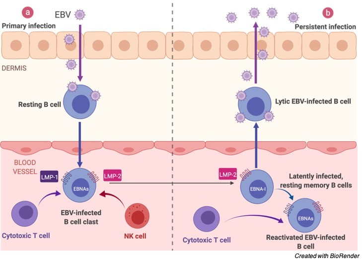Epstein-Barr Virus (EBV)- Symptoms, Prevention, and Diagnosis - research tweet 3