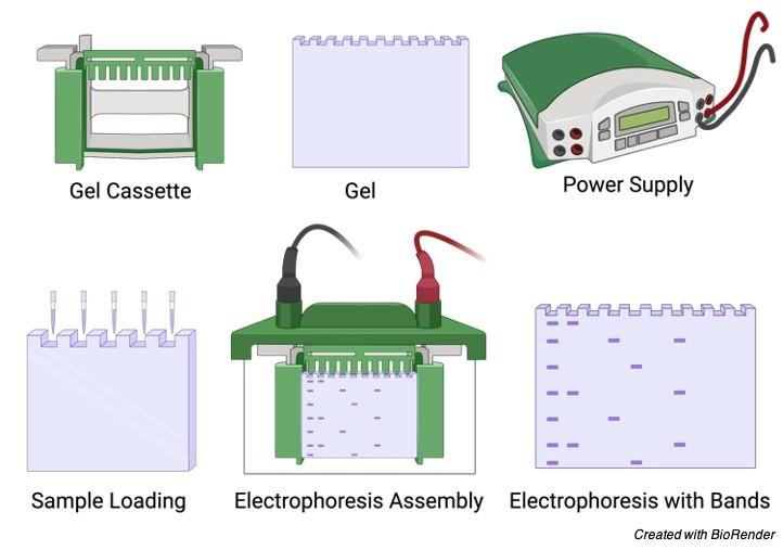 Gel Electrophoresis - research tweet 1