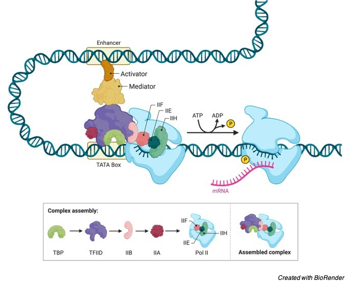 Gene Regulation- Definition, Steps, and Examples 1