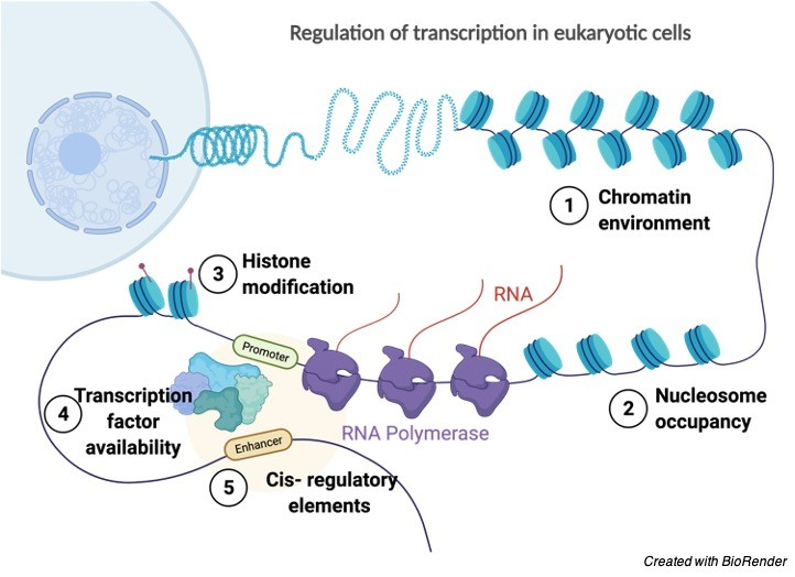 Gene Regulation- Definition, Steps, and Examples 2