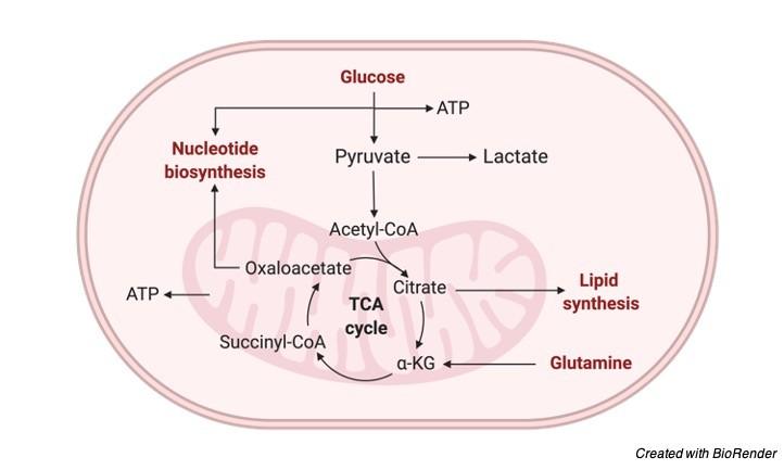 Glucose Oxidation Respiratory Balance Sheet I Research Tweet 1