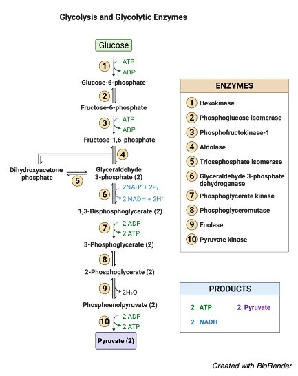 Glycolysis - Definition and Examples - research tweet