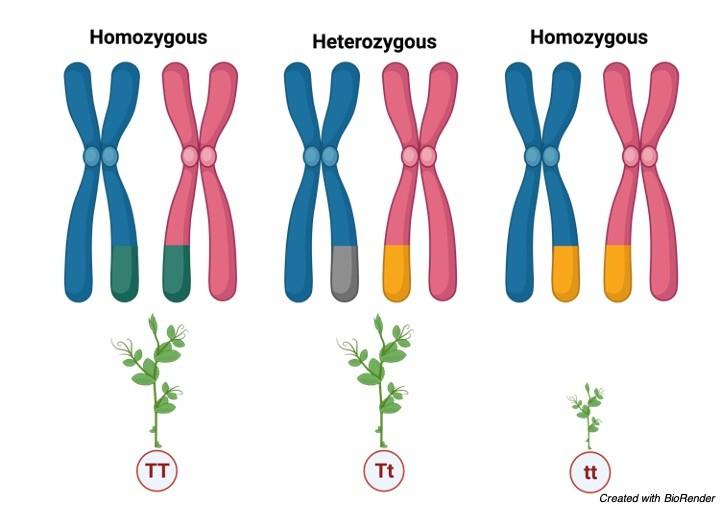 Homozygous vs Heterozygous - research tweet 1