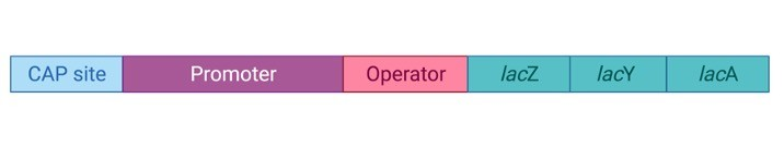 Lac Operon Diagram, Phenotypes, Model, and Regulation 1