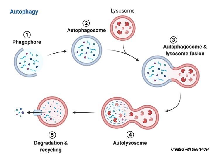 Lysosome - Research Tweet 3