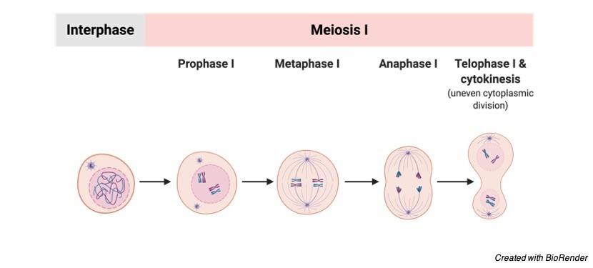 Meiosis, Meiosis Stages, Meiosis Phases, Meiosis Diagram, Meiosis Types 2