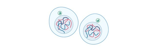 Mitosis- Definition, Stages, Types, Diagram, and Facts
