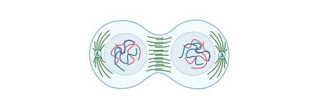 Mitosis- Mitosis Phases, Mitosis Diagram, Mitosis Stage, and Mitosis Checkpoints