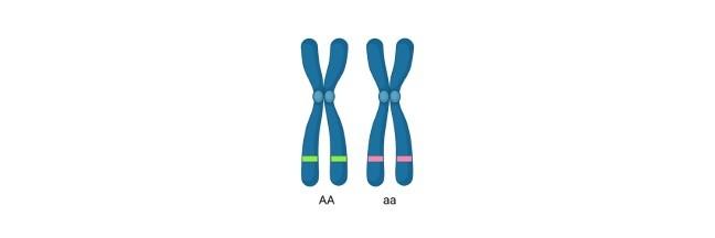 Multiple Alleles, Multiple Allele, Multiple Alleles examples, Multiple Alleles definition, What is Multiple Alleles,