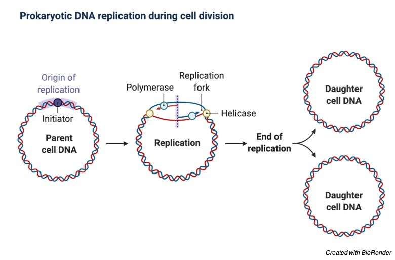 Origin of Replication- Definition, Structure, Diagram, and Function - research tweet