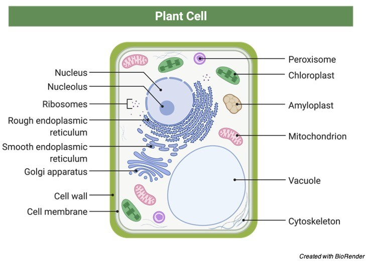 Plant Cell vs Animal Cell, Plant Cell labelled, Plant Cell Diagram,