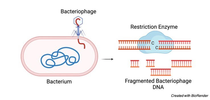 Restriction Enzymes - research tweet 1