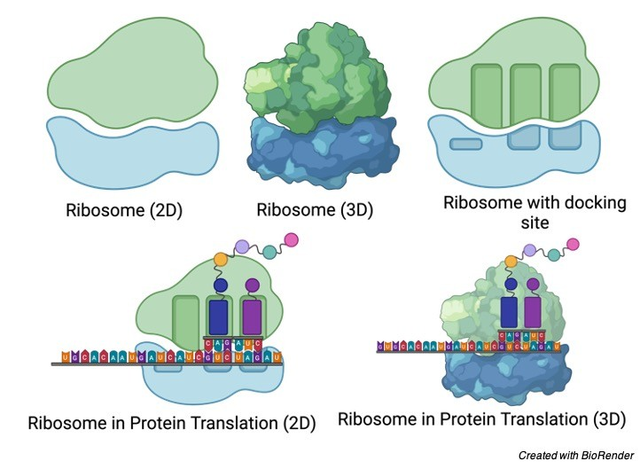 Ribosomes- Function, Definition, Structure, and Formation - research tweet 1