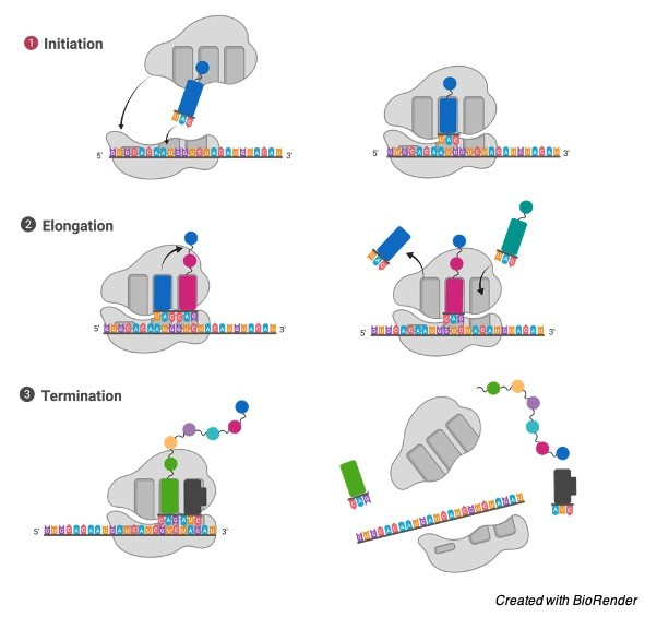 Ribosomes- Function, Definition, Structure, and Formation - research tweet