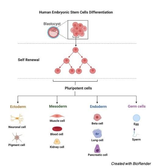 Stem Cells - research tweet 1