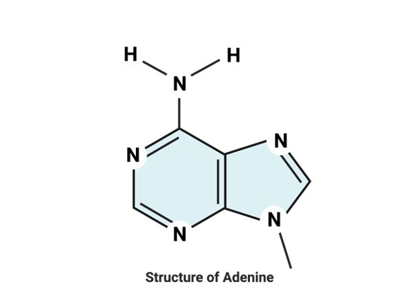 Structure of Adenine- Definition, Structure, and Functions - Research Tweet