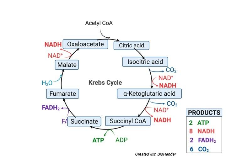 TCA Cycle Krebs Cycle - research tweet 1