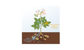 Transport in Plants, Xylem, Phloem, Plant, Transport Mechanism
