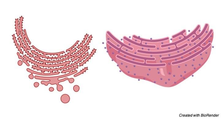endoplasmic reticulum - Research Tweet 5