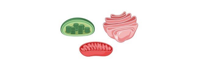 organelle, cell organelle, organelle definition, Plant cell organelle, Animal cell organelle,